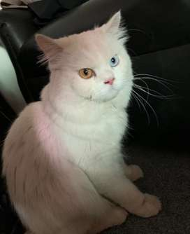Purebred Persian cats are for sale Eyes are different colour