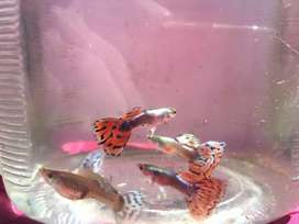 Ikan Guppy Red Mozaik