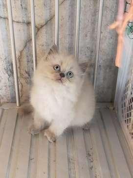 Lepas adopsi kucing persia Himalaya umur 2,5 bln,mahar beda2