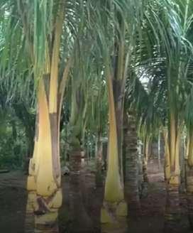 Pohon kelapa hias redy