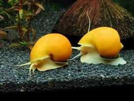 Aquarium Snail mystery snail Golden snail