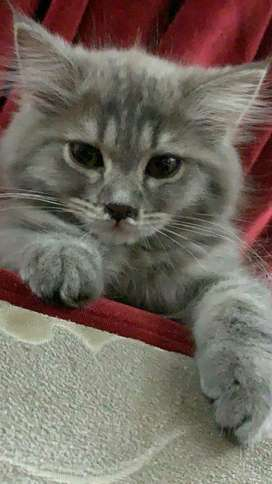 Persion 3coated female cat for sale