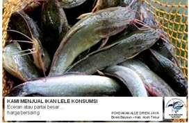 Ikan Lele Konsumsi