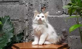 kucing persia medium jantan bicolor tabby lucu