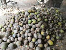 1000 Coconuts fr sale at rs.17 in margao