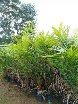Bibit sawit sawet kelapa sawit
