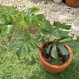Tanaman Hias Raphidopora Tetrasperma sedang rimbun & Pot Terakota X5