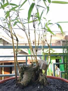 Pohon Bonsai bambu kuning
