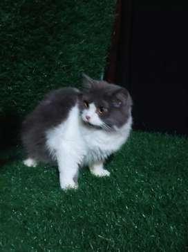 Kucing persia betina umur 8 bln