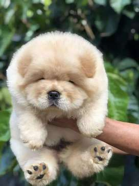 Chow Chow puppy in lahore