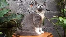 kucing persia medium jantan bicolor blue lucu
