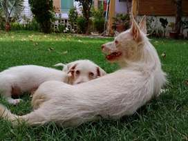 Toy breed cat size pair and pups