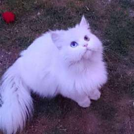Original persian cat