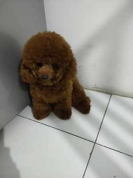 Pejantan red toy poodle
