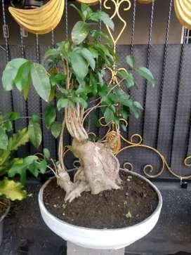 Bahan bonsai Amplas