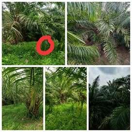 MURAH !! ONLY 50 Ribu per meter Kebun Sawit Produktif Pandeglang
