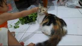 Kucing Persia Betina Calico Belang Tiga