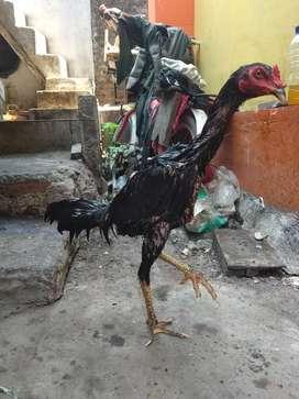 Ayam bangkok Masih muda jingkring