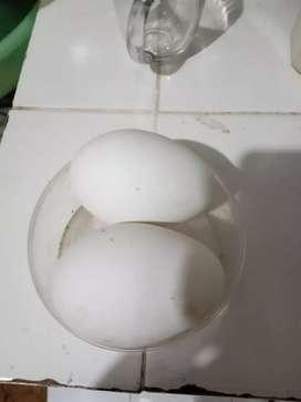 Jual telur soang fresh