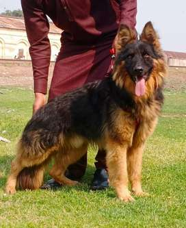 Pure Belgium Shepherd male age 8months for sale