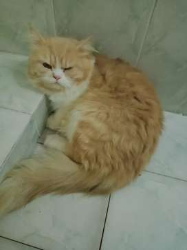 Persian male cat triple cotted