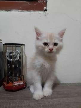 Kucing Persia Medium Ekor Kemoceng