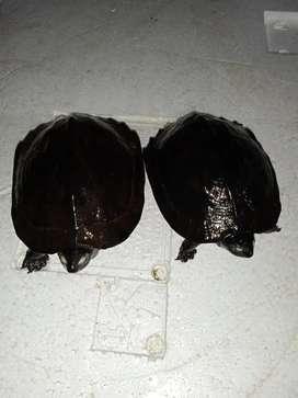 Paket sepasang Kura kura