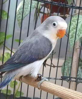 Lovebird  Euwing Vio possible split biola