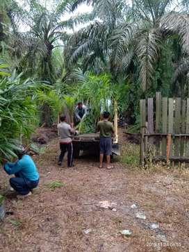 Bibit Kelapa Sawit / Pusat Penelitian Kelapa Sawit Medan(PPKS)