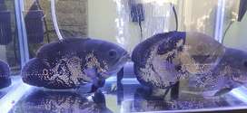 Ikan Oscar Paris