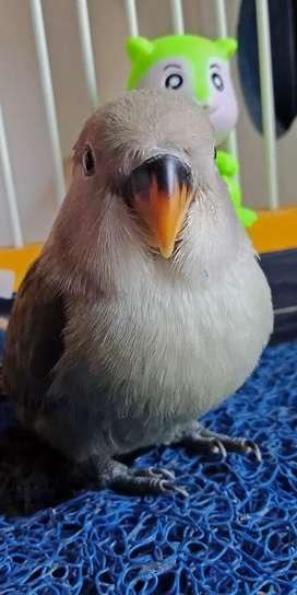 Burung lovebird lucu
