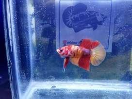 Ikan Cupang @colony_betta_farm