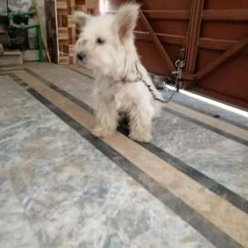 Poodle female for sale near to heat