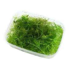plant for aquarium
