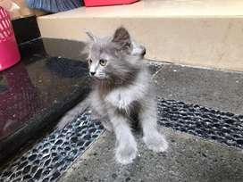 Anak kucing persia umur 2 bulan lebih