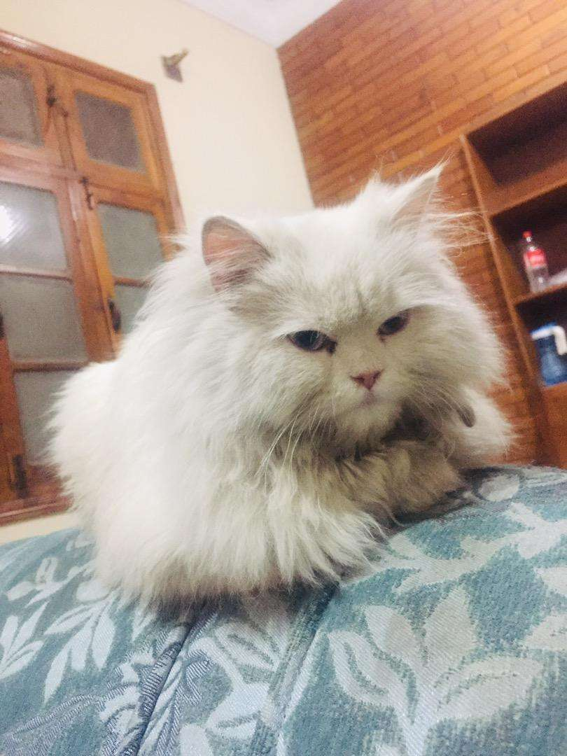 Persion cats female for sale