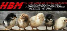 Bibit ayam kampung dan bebek