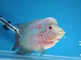 Ikan louhan jenis cencu