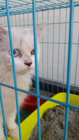 Kucing mata sebelah persia jantan mahar 850 rb