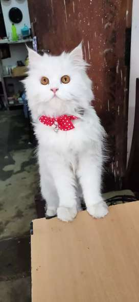 WHITE FEMALE PERSIAN CAT(8 months old)
