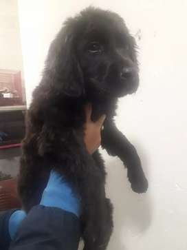 Imported Newfoundland extreme quality puppy's available