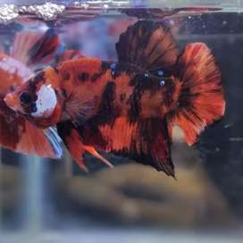 Ikan cupang nemo tiger