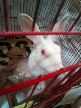 9 Red eyes pure White Rabbits family for sale