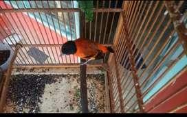 Burung red siskin