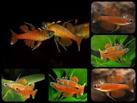 Ikan pseudomugil paskai red neon untuk aquarium dan aquascape