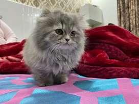 Playful Persian kittens
