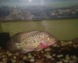 F2 kamfa white eye Female Flowerhorn fish