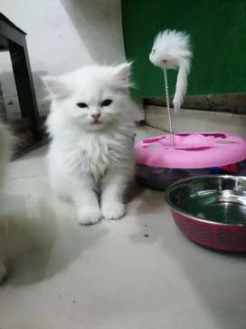 Import lineage Persian kittens available
