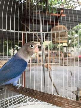 Lovebird Violet betina mataram