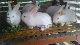 Kelinci usia 2 bulan